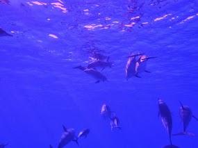 Dolfijnen paars