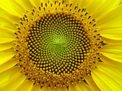 FIBONACCI zonnebloem spiraal
